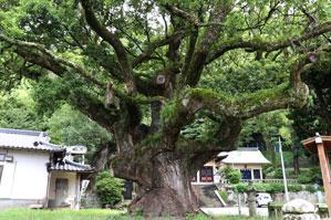 神社にある大木