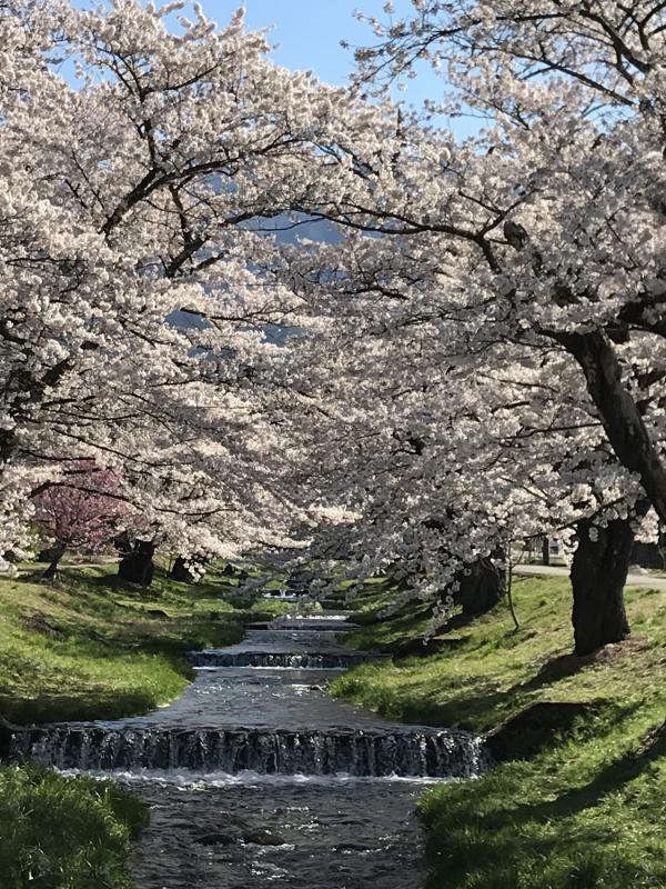 桜hanako